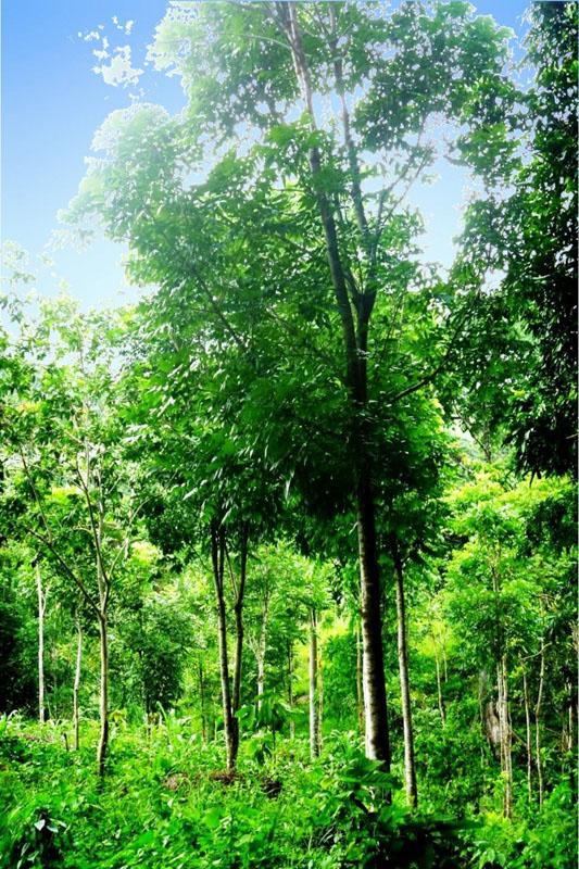 Mahagonibäume  Tree Trading World DE - Angebot