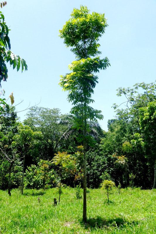 2017 Mahagonibäume