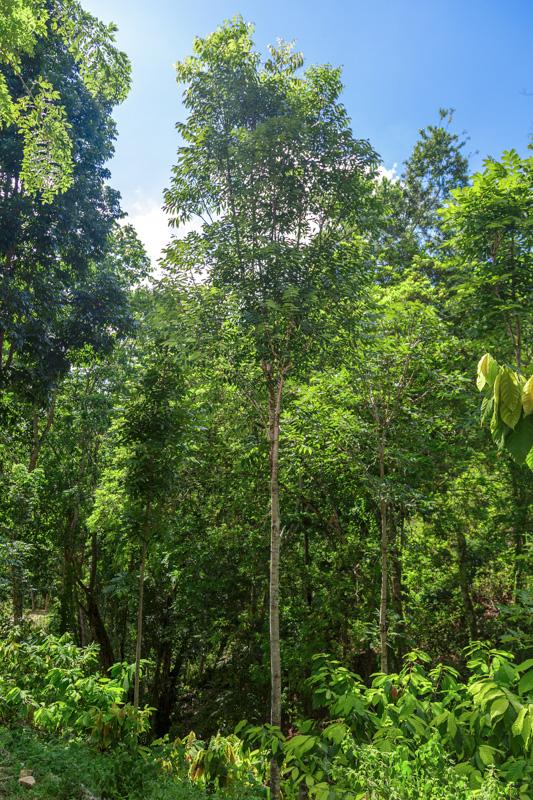 Mahagonibäume  Tree Trading World EN -Homepage